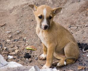 Puppy India